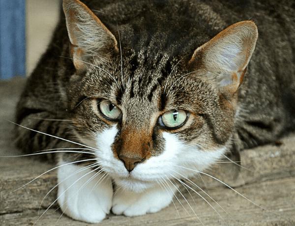 Největší kočky v domácnosti
