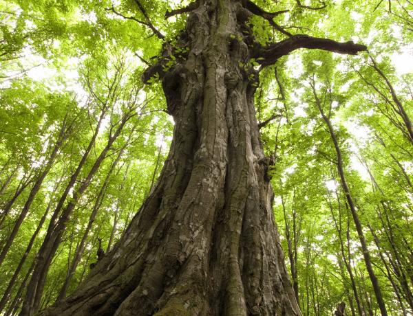 Hlasujte v anketě o Evropský strom roku